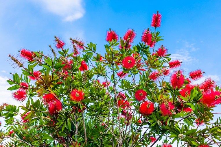 Callistemon or bottle brush branches