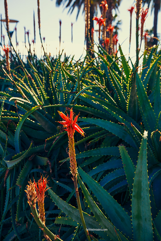 Aloes by Faithieimages