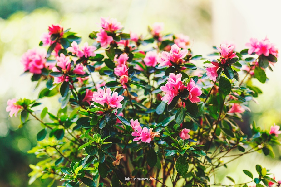 Azalea by Faithieimages 01