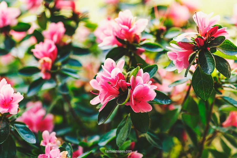 Azalea by Faithieimages 03