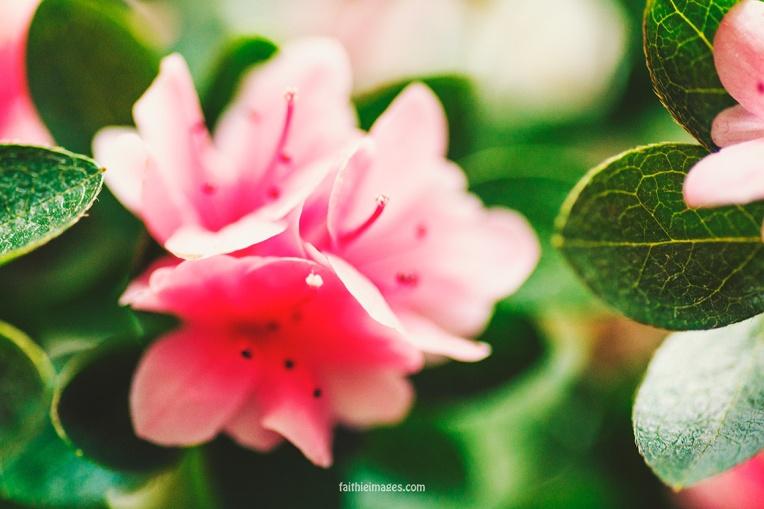 Azalea by Faithieimages 05