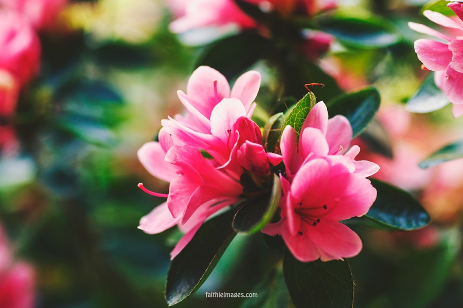Azalea by Faithieimages 06