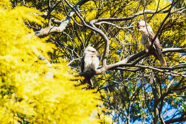 Kookaburra by Faithieimages 01