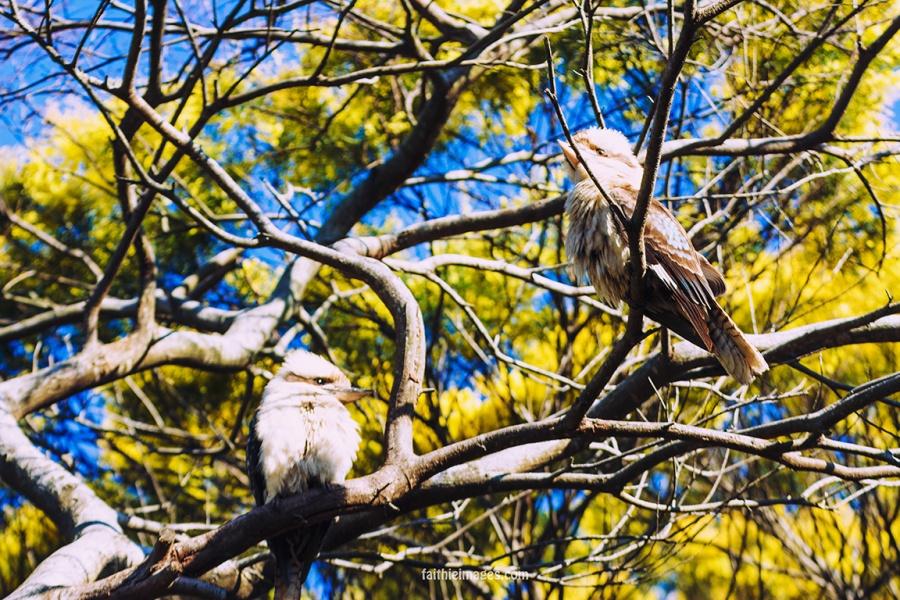 Kookaburra by Faithieimages 02