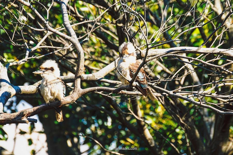 Kookaburra by Faithieimages 04