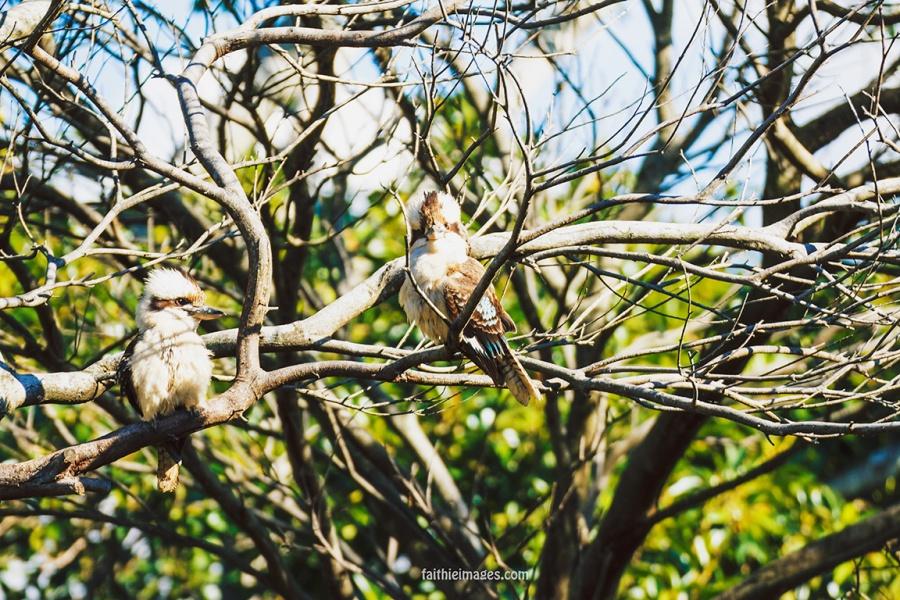 Kookaburra by Faithieimages 06