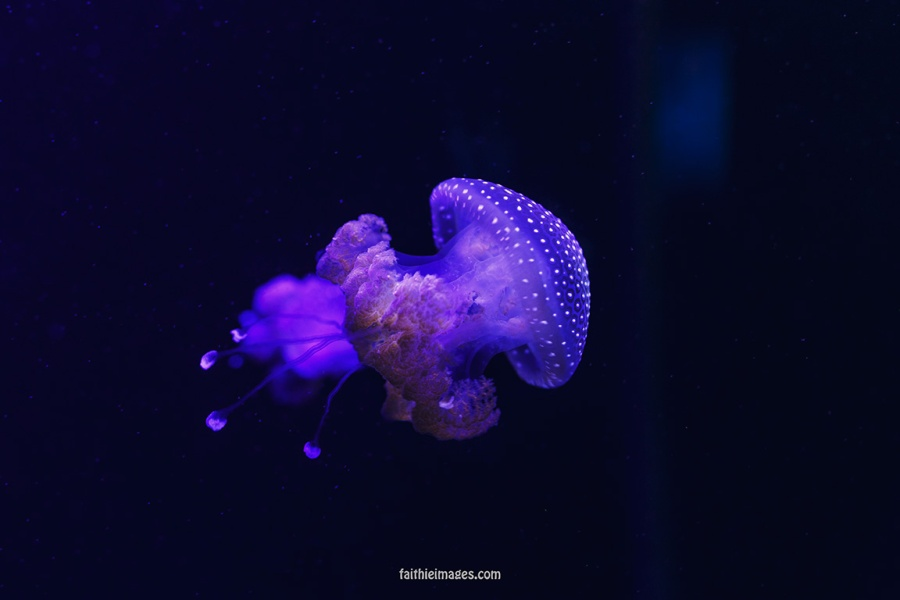 Jellyfish by Faithieimages