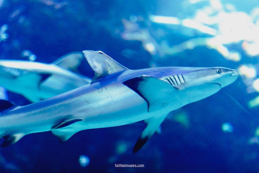 Sharks by Faithieimages