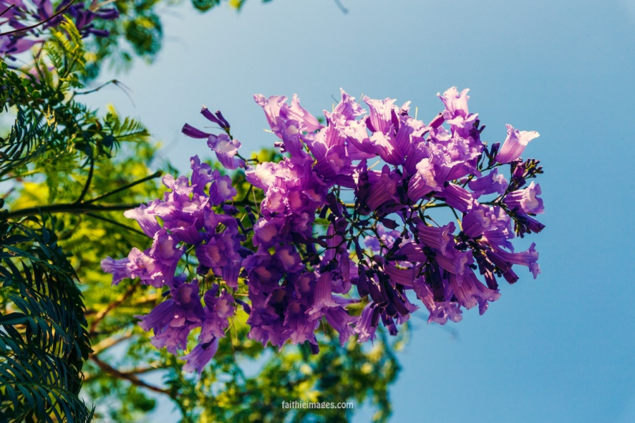 Faithieimages - Jacaranda & co 001