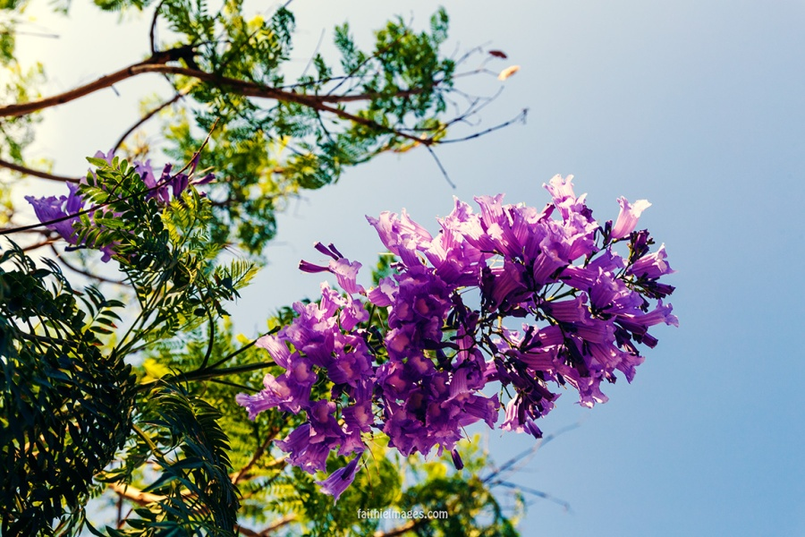 Faithieimages - Jacaranda & co 003
