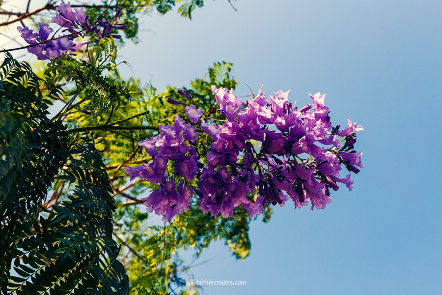 Faithieimages - Jacaranda & co 004