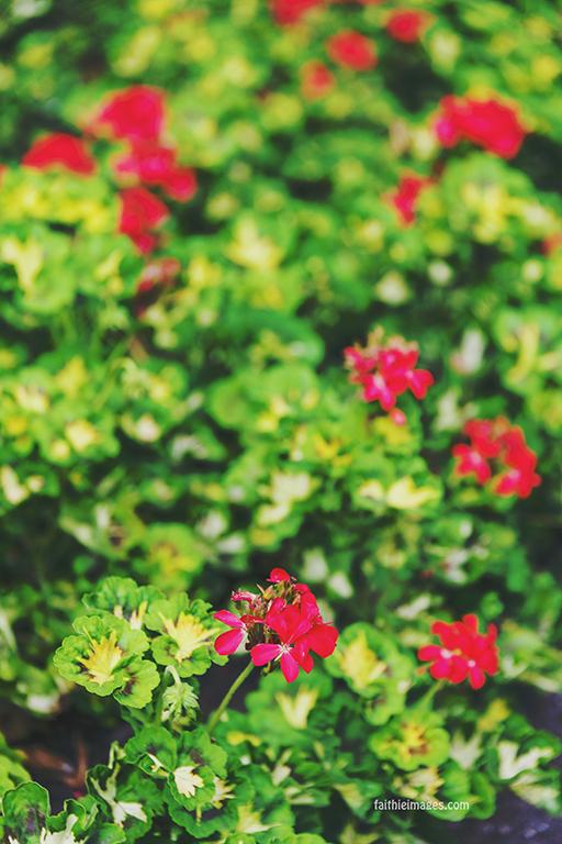 Red Geranium field