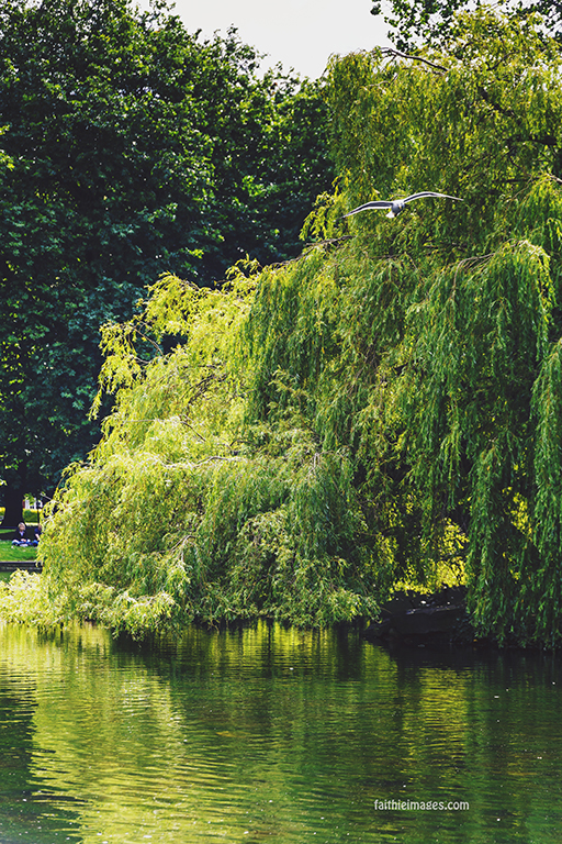 weeping willow tree over the lake at St Stephen's Green Park in