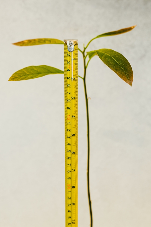 avocado plant with tall stem and green leaves with measuring tape checking his growth, concept of gardening and green thumb